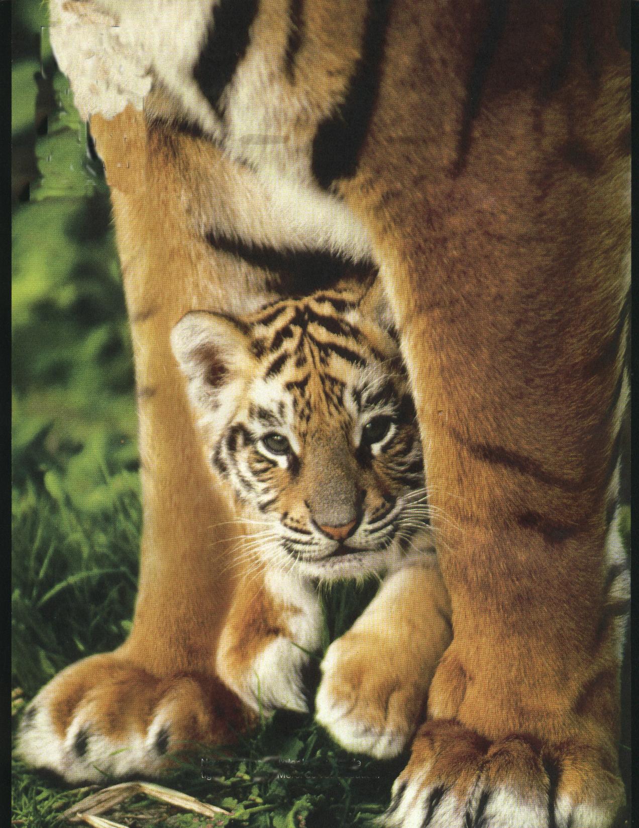 Unique Dessin à Imprimer De Tigre